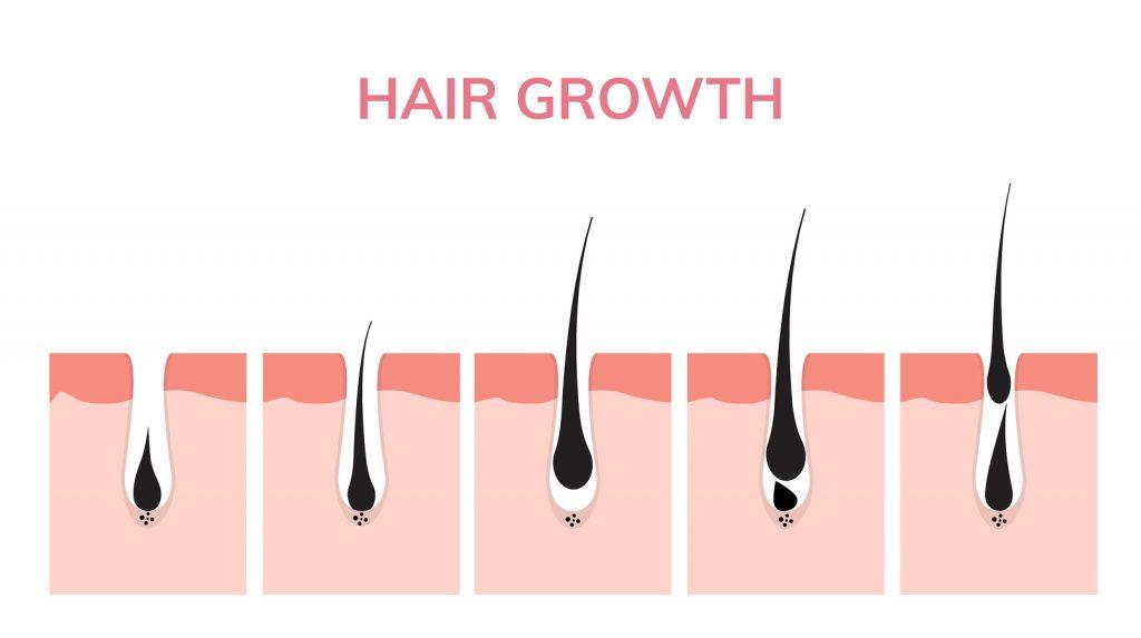 Zyklus des Haarwachstums